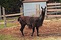 Black Llama Side.jpg