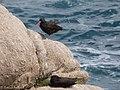 Black Oystercatcher Pt Lobos State Natural Reserve Monterey CA 2017-04-11 13-30-04 (33481810144).jpg