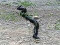 Black Rat Snake2.jpg