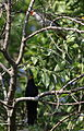 Black cuckooshrike, Campephaga flava, at Manavhela Ben Lavin Nature Reserve, Machado, Limpopo, South africa (26268704796).jpg