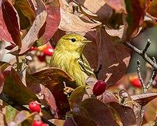 Blackpoll warbler in GWC (24942).jpg