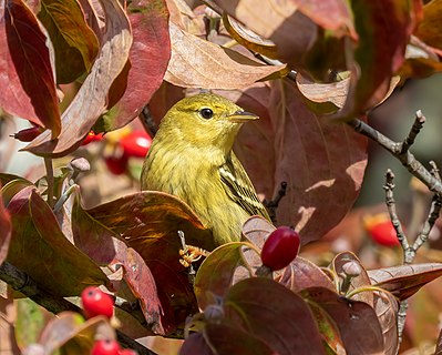 Blackpoll warbler in the fall