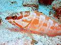 Blacktip grouper epinephelus fasciatus.JPG