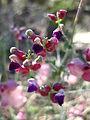 Bladder-sage (Scutellaria mexicana); Hidden Valley (12526143764).jpg