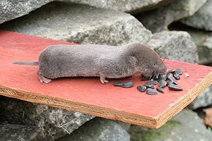 Northern short-tailed shrew - Northern short-tailed shrew