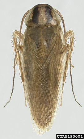 Blattella asahinai the Asian cockroach - adult 05.jpg