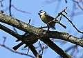 Blaumeise (Cyanistes caeruleus) im Grünfelder Park in Waldenburg. 2H1A3543WI.jpg