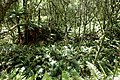Blechnum novae-zelandiae kz14.jpg