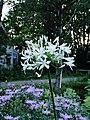 Bloemen van Agapanthus.JPG