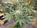 Blooming cannabis plant.jpg