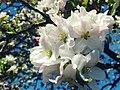 Blossom (152743695).jpeg