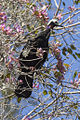 Blue-throated Piping-Guan - Pantanal - Brazil H8O0679 (14914070394).jpg