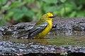 Blue-winged Warbler Fall Out 2 Sabine Woods TX 2018-04-09 09-29-28 (40614501195).jpg