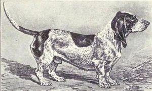 Basset Bleu de Gascogne - A drawing of a Basset Bleu de Gascogne from 1915.
