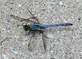 Blue Dragonfly.jpg