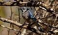 Blue Jay (5499594172).jpg