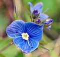 Blue flower in Slovenia 3.jpg