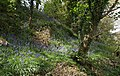 Bluebells by the Primrose Line - geograph.org.uk - 1294282.jpg