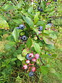 BlueberriesGierkeFarmMichigan Summer2013.jpg