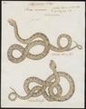 Boa canina - 1734-1765 - Print - Iconographia Zoologica - Special Collections University of Amsterdam - UBA01 IZ11900063.tif