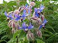 Borage (Borago officinalis).jpg
