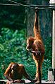 Bornean Orangutans (Pongo pygmaeus) (14392738027).jpg
