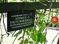 Botanical Garden of Peradeniya 44.JPG