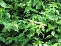 Bougainvillea glabra (Paper flower) leaves in RDA, Bogra.jpg