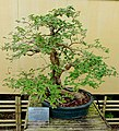 Bougainvillea glabra - Morikami Museum and Japanese Gardens - Palm Beach County, Florida - DSC03534.jpg