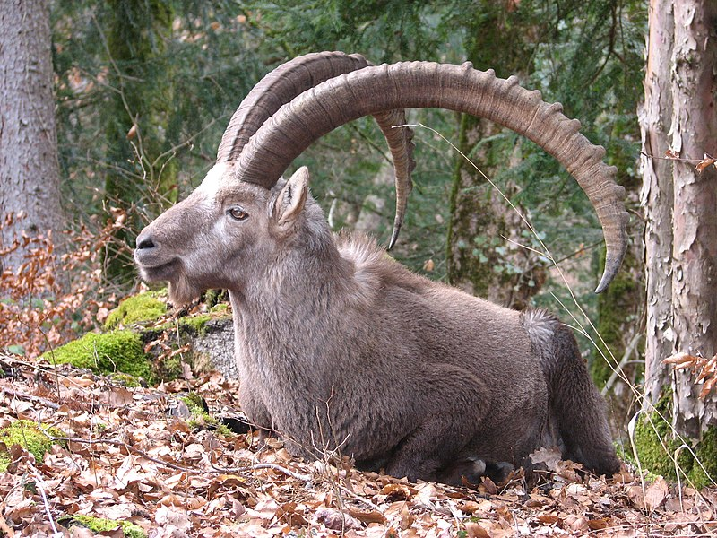 Alpine goats with horns - photo#11
