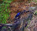 Bower bird glenbrook rly-2.jpg