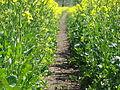Brassica napus near Gettenau 02.JPG