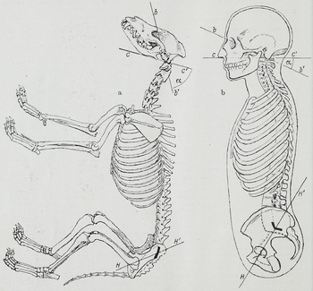 comparison between cat and human skeleton essay Cats vs humans at first glance, it might look as if there are very few similarities between a human skeleton and a cat skeleton, however, when you look a little.