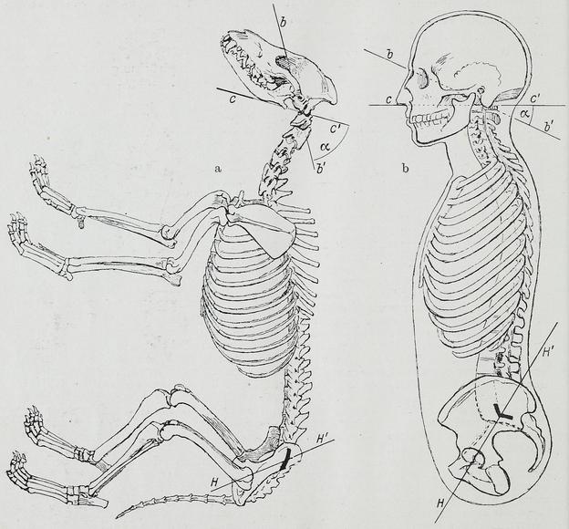 Anatomia Comparada Wikiwand