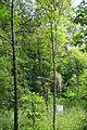 Bretschneidera sinensis - Chengdu Botanical Garden - Chengdu, China - DSC03405.JPG