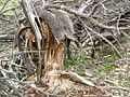 Broken tree, Little Desert National Park.JPG