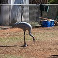 Brolga at Boulia Wildlife Haven Herbert St Boulia Queensland P1030241.jpg