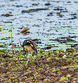 Bronze winged Jacana 2.jpg