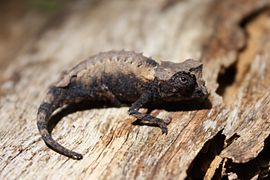 Brookesia stumpffi