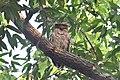 Brown Fish Owl pride of Telangana 01.jpg