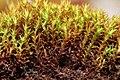 Bryoerythrophyllum ferruginascens (a, 144847-474701) 7192.JPG