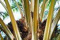 Buah kelapa sawit (19).JPG