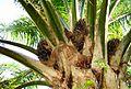 Buah kelapa sawit (8).JPG