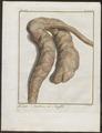 Bubalus spec. - ingewanden - 1700-1880 - Print - Iconographia Zoologica - Special Collections University of Amsterdam - UBA01 IZ21200039.tif
