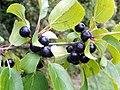 Buckthorn (Rhamnus cathartica), fruit (19860624419).jpg