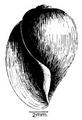 Bulinus globosus shell.png