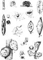 Bulletin of AMNH Vol. XLVI, XXIV.png