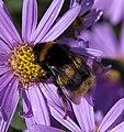 Bumble Bee (3915616773).jpg