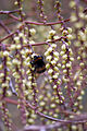 Bumble Bee On Stachyurus Praecox (3337605953).jpg