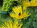 Bumble Bee on the Elecampane (2679007159).jpg